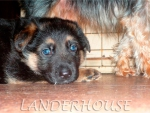 Щенки питомника немецких овчарок Landerhouse