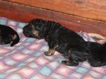Длинношерстные щенки немецкой овчарки