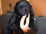 Черные щенки немецкой овчарки, 2.5 недели