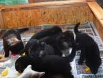 Черные и чепрачные щенки немецкой овчарки