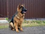 Подрощенные длинношерстные щенки немецкой овчарки