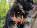 Щенки немецкой овчарки. Дата рождения 07.08.2017